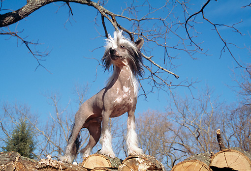 DOG 19 JN0014 01 © Kimball Stock Chinese Crested Standing On Woodpile Against Blue Sky