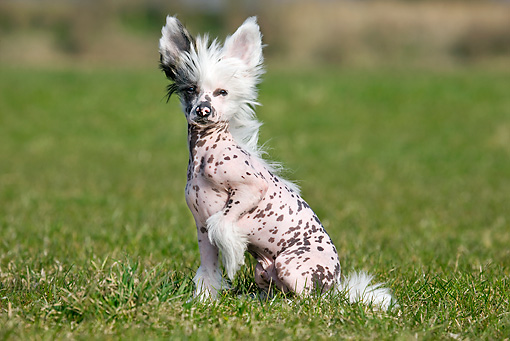 DOG 19 JS0006 01 © Kimball Stock Chinese Crested Sitting On Grass