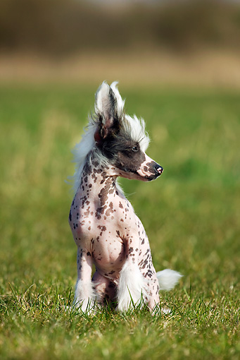 DOG 19 JS0007 01 © Kimball Stock Chinese Crested Sitting On Grass