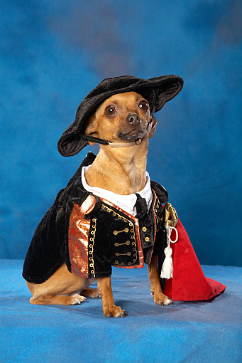 DOG 19 MQ0004 01 © Kimball Stock Humorous Brown Chihuahua Wearing Pirate Costume In Blue Studio