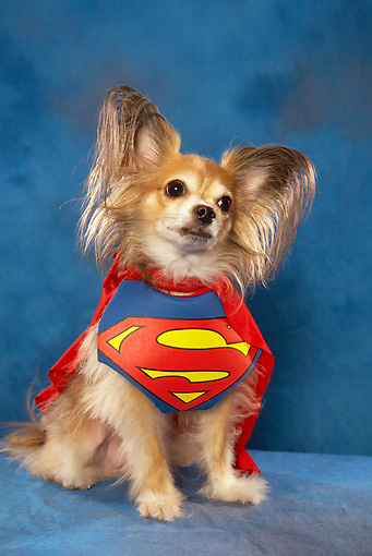 DOG 19 MQ0005 01 © Kimball Stock Papillon Wearing Superman Cape In Blue Studio