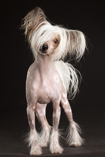 DOG 19 MQ0007 01 © Kimball Stock Chinese Crested Dog Standing In Dark Studio