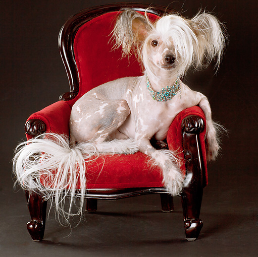 DOG 19 MQ0008 01 © Kimball Stock Chinese Crested Dog Resting On Red Armchair In Studio