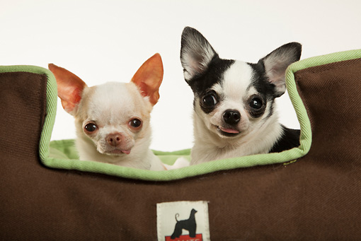 DOG 19 MQ0009 01 © Kimball Stock Two Chihuahuas Sitting On Dog Bed On White Seamless