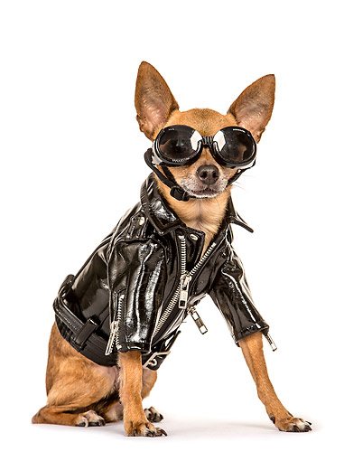 DOG 19 MQ0013 01 © Kimball Stock Chihuahua Wearing Leather Jacket And Goggles Sitting On White Seamless