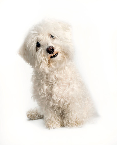 DOG 19 MR0009 01 © Kimball Stock Bichon Frise Sitting On White Seamless