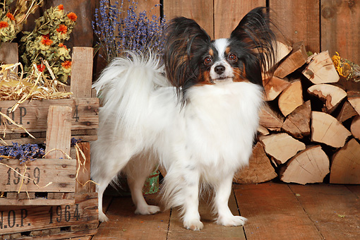 DOG 19 NR0005 01 © Kimball Stock Papillon Standing On Wood Floor By Dried Flowers And Woodpile