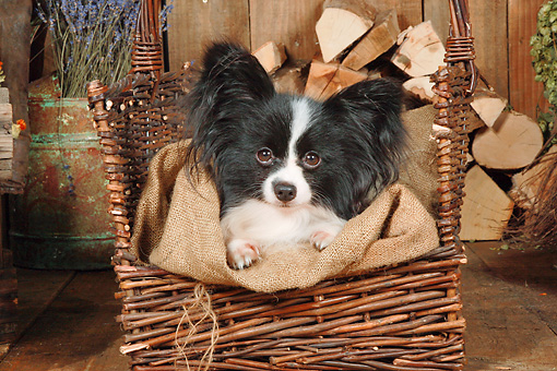 DOG 19 NR0006 01 © Kimball Stock Papillon Sitting In Basket By Woodpile