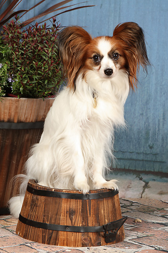 DOG 19 NR0007 01 © Kimball Stock Portrait Of Papillon Sitting On Planter