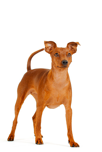 DOG 19 PE0001 01 © Kimball Stock Miniature Pinscher Standing On White Seamless