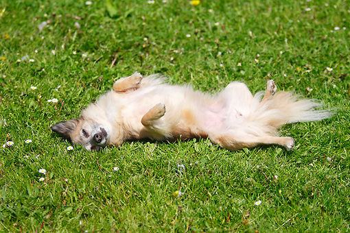 DOG 19 PE0007 01 © Kimball Stock Longhair Chihuahua Rolling On Back In Grass