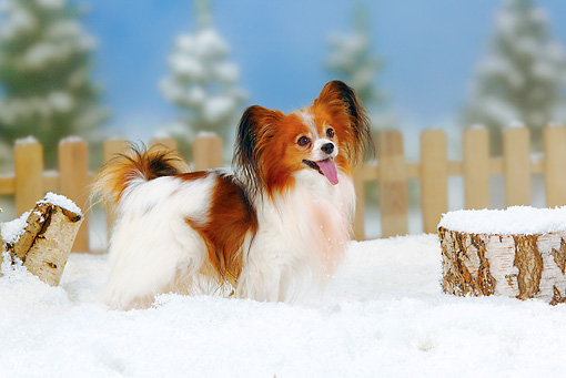 DOG 19 PE0008 01 © Kimball Stock Papillon Standing In Snow By Fence And Stump
