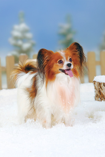 DOG 19 PE0009 01 © Kimball Stock Papillon Standing In Snow By Fence And Stump