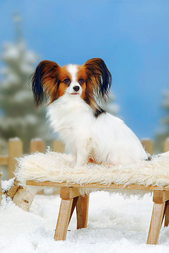 DOG 19 PE0010 01 © Kimball Stock Papillon Sitting On Bench In Snow