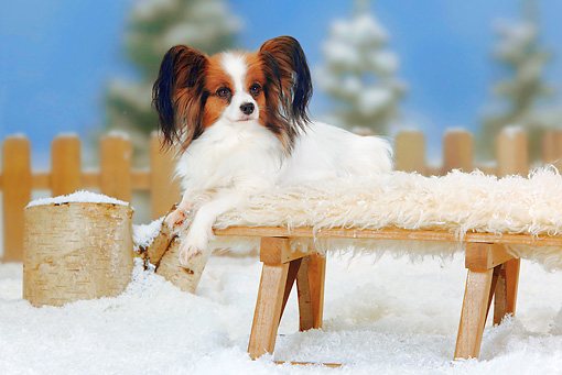 DOG 19 PE0011 01 © Kimball Stock Papillon Laying On Bench In Snow