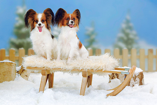 DOG 19 PE0012 01 © Kimball Stock Two Papillons Sitting On Bench In Snow