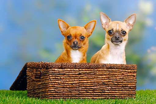 DOG 19 PE0017 01 © Kimball Stock Two Chihuahuas Sitting In Basket On Grass