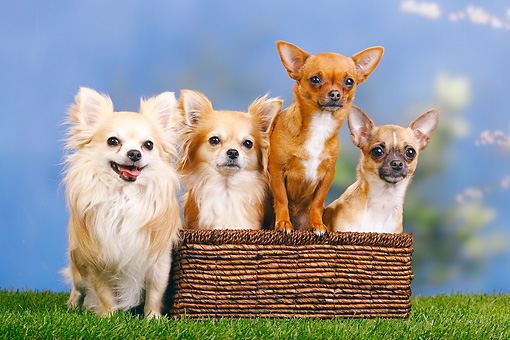 DOG 19 PE0018 01 © Kimball Stock Four Chihuahuas Sitting In Basket On Grass