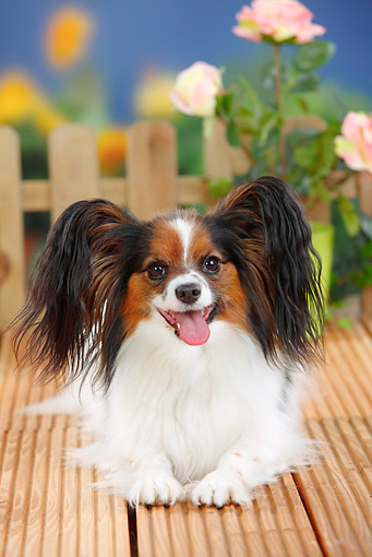 DOG 19 PE0025 01 © Kimball Stock Papillon Laying On Deck By Roses