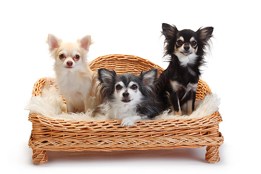 DOG 19 PE0026 01 © Kimball Stock Three Chihuahuas Sitting On Dog Bed On White Seamless