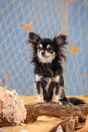 DOG 19 PE0030 01 © Kimball Stock Chihuahua Standing On Driftwood In Sand By Fishing Net