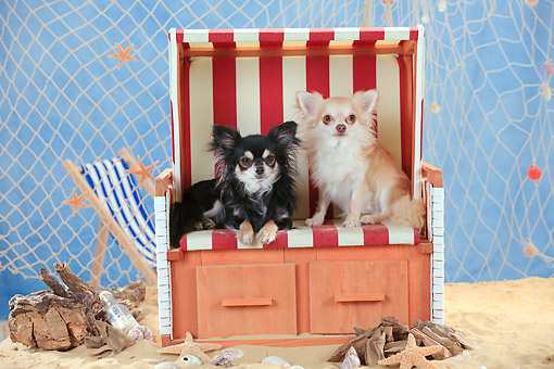 DOG 19 PE0031 01 © Kimball Stock Two Chihuahuas On Beach Chair By Driftwood And Fishing Net