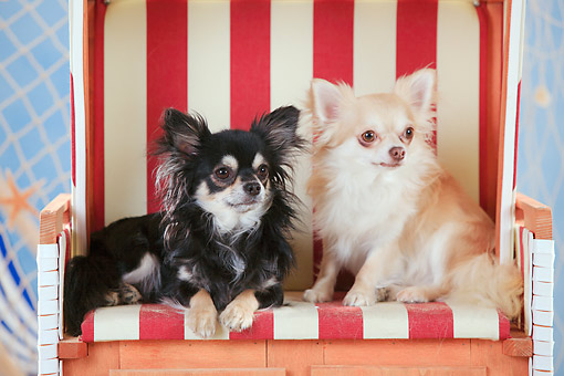 DOG 19 PE0032 01 © Kimball Stock Two Chihuahuas On Beach Chair By Fishing Net