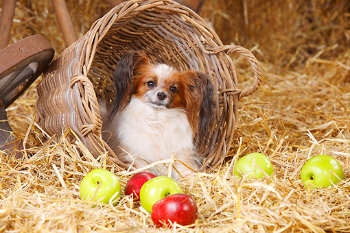 DOG 19 PE0035 01 © Kimball Stock Papillon Sitting In Basket In Barn With Apples