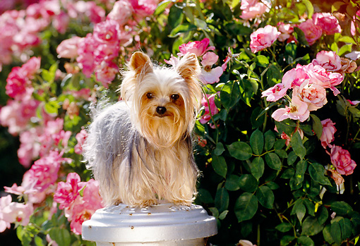 DOG 19 RK0043 05 © Kimball Stock Miniature Yorkshire Terrier Standing On Top Of Fire Hydrant By Pink Flowers