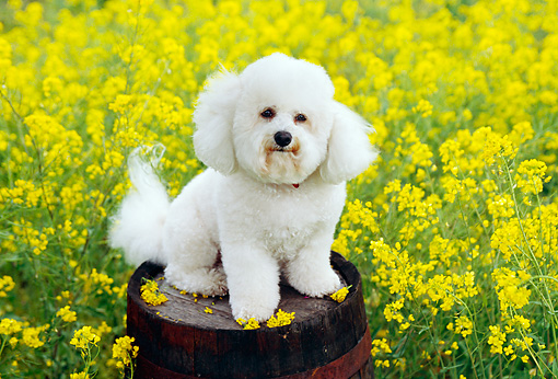 DOG 19 RK0101 02 © Kimball Stock Bichon Frise Sitting On Barrel In Yellow Flower Field