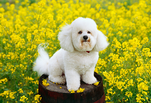 DOG 19 RK0101 24 © Kimball Stock Bichon Frise Sitting On Barrel In Yellow Flower Field