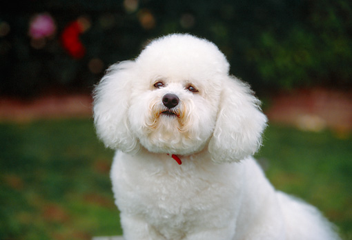 DOG 19 RK0109 01 © Kimball Stock Head Shot Of Bichon Frise