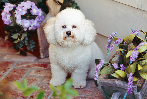 DOG 19 RK0112 21 © Kimball Stock Bichon Frise Sitting By Purple Flowers On Brick Patio By House