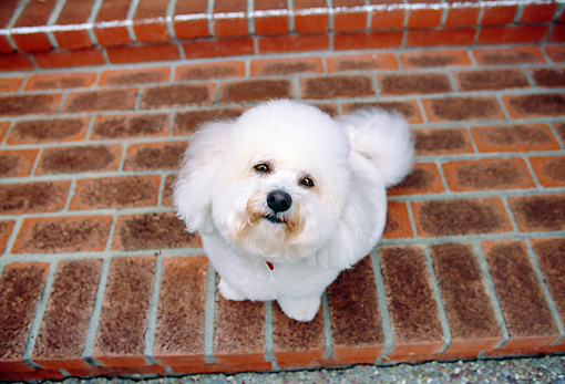 DOG 19 RK0114 02 © Kimball Stock Overhead View Of Bichon Frise Sitting On Brick Porch Looking Up