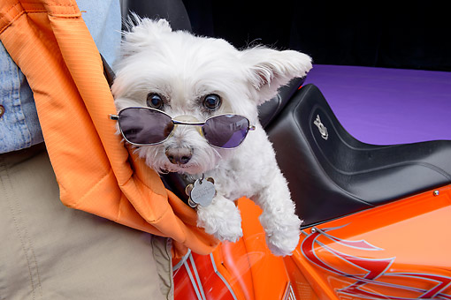 DOG 19 RK0148 01 © Kimball Stock Maltese With Sunglasses By 2013 V8 Chopper Trike Orange In Studio