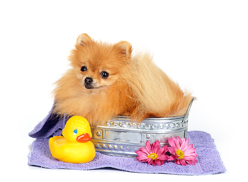 DOG 19 RS0030 02 © Kimball Stock Pomeranian In Laying In Bathtub With Rubber Ducky
