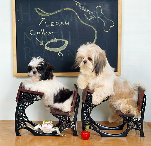DOG 19 RS0032 01 © Kimball Stock Two Shih-Tzu Dogs In Desks At School