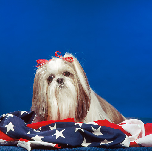 DOG 19 RS0041 01 © Kimball Stock Portrait Of Shih Tzu