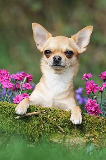 DOG 19 SS0001 01 © Kimball Stock Chihuahua Laying On Mossy Log By Flowers