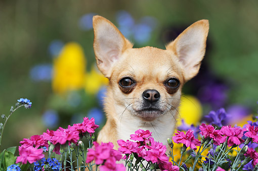 DOG 19 SS0002 01 © Kimball Stock Chihuahua Laying In Flowers