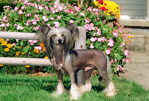 DOG 19 CE0001 01 © Kimball Stock Chinese Crested Dog Standing On Grass By Flowers And Fence