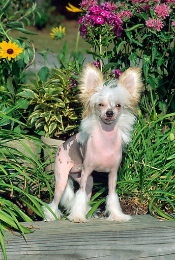 DOG 19 CE0002 01 © Kimball Stock Chinese Crested Puppy Standing On Wooden Beam By Foliage