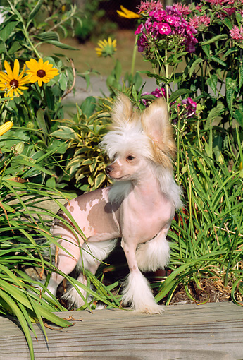 DOG 19 CE0003 01 © Kimball Stock Chinese Crested Puppy Standing On Wooden Beam By Foliage