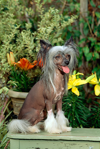 DOG 19 CE0004 01 © Kimball Stock Chinese Crested Dog Sitting On Wooden Bench By Flowers Foliage