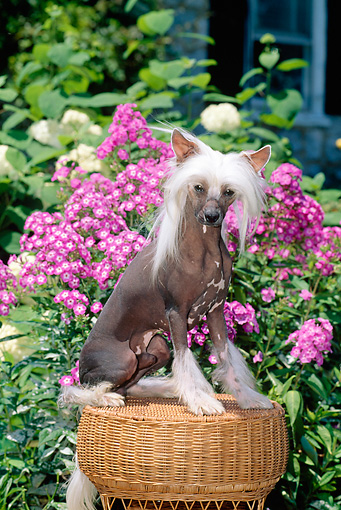 DOG 19 CE0005 01 © Kimball Stock Chinese Crested Dog Sitting On Wicker Stool By Flowers