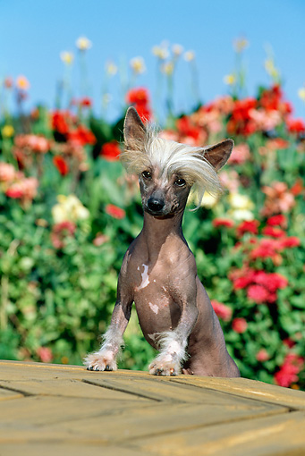 DOG 19 CE0006 01 © Kimball Stock Chinese Crested Dog Standing On Wooden Table By Flowers