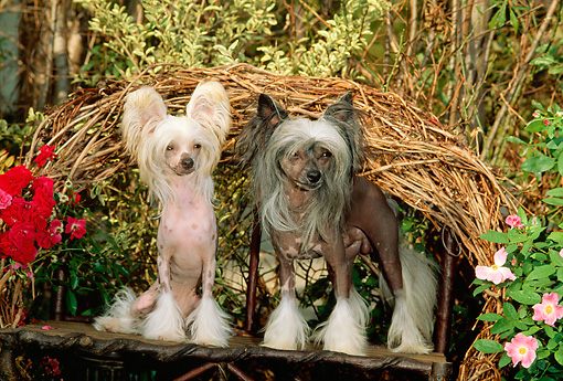 DOG 19 CE0007 01 © Kimball Stock Chinese Crested Dog Sitting On Twig Bench By Flowers Foliage