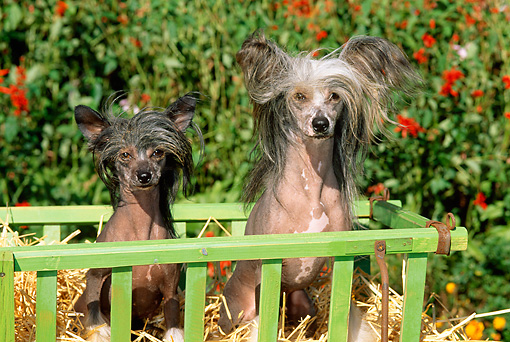 DOG 19 CE0008 01 © Kimball Stock Two Chinese Crested Dogs Sitting On Hay In Cart By Flowers Foliage