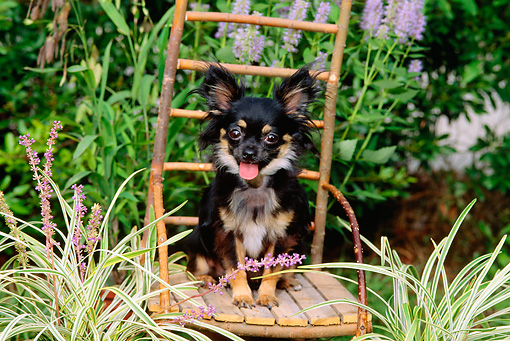 DOG 19 CE0009 01 © Kimball Stock Chihuahua Sitting On Twig Chair In Garden