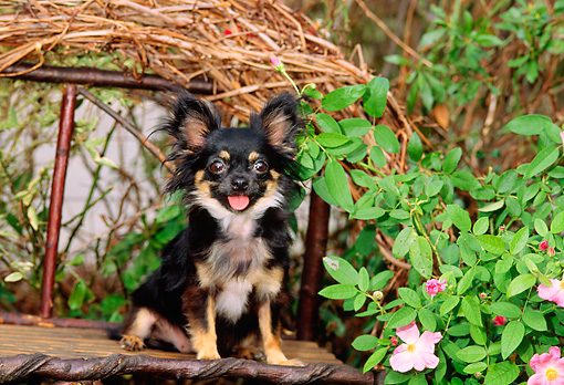 DOG 19 CE0010 01 © Kimball Stock Chihuahua Sitting On Twig Bench In Garden